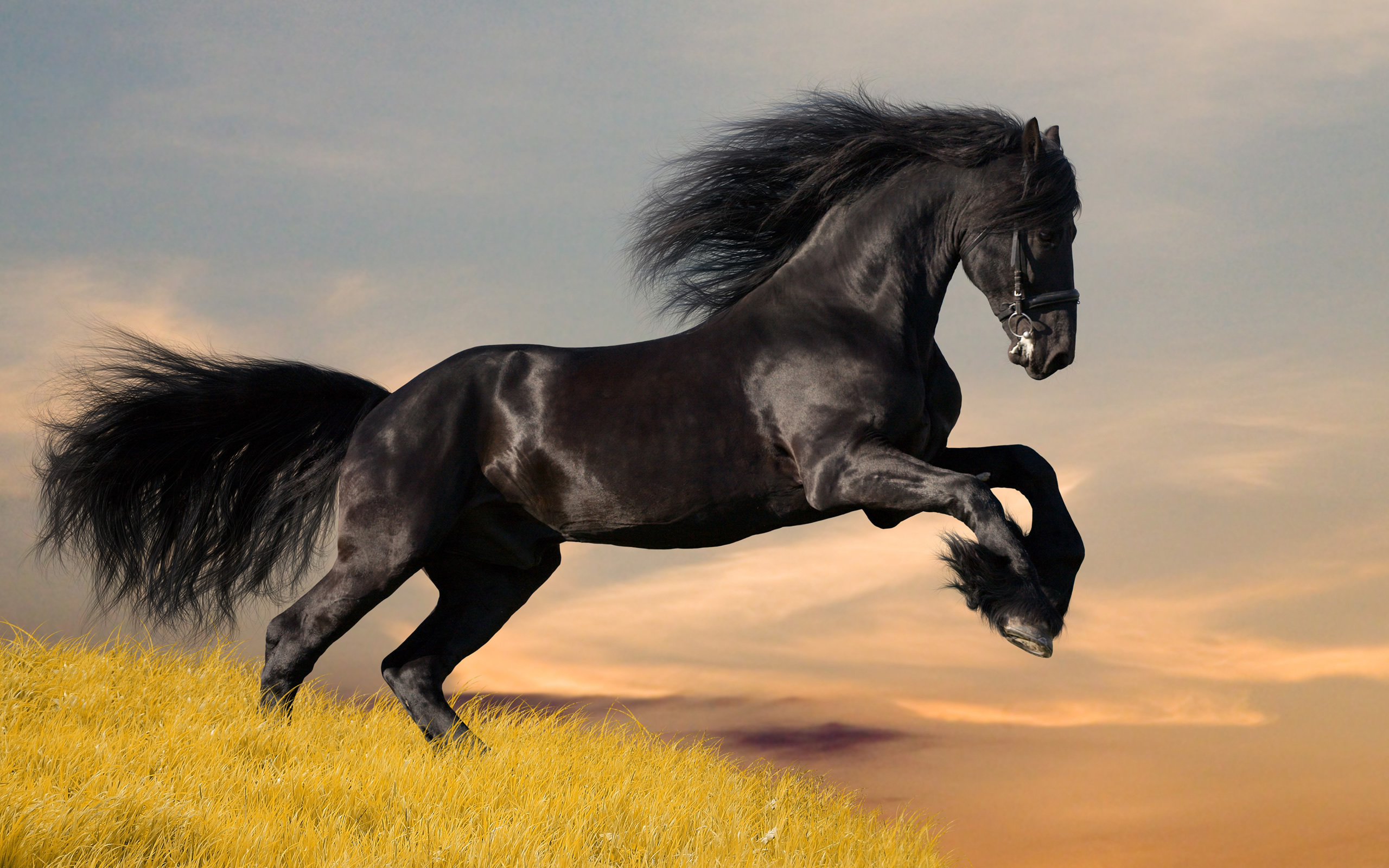 Black mustang horse wallpapers and images   wallpapers pictures 2560x1600