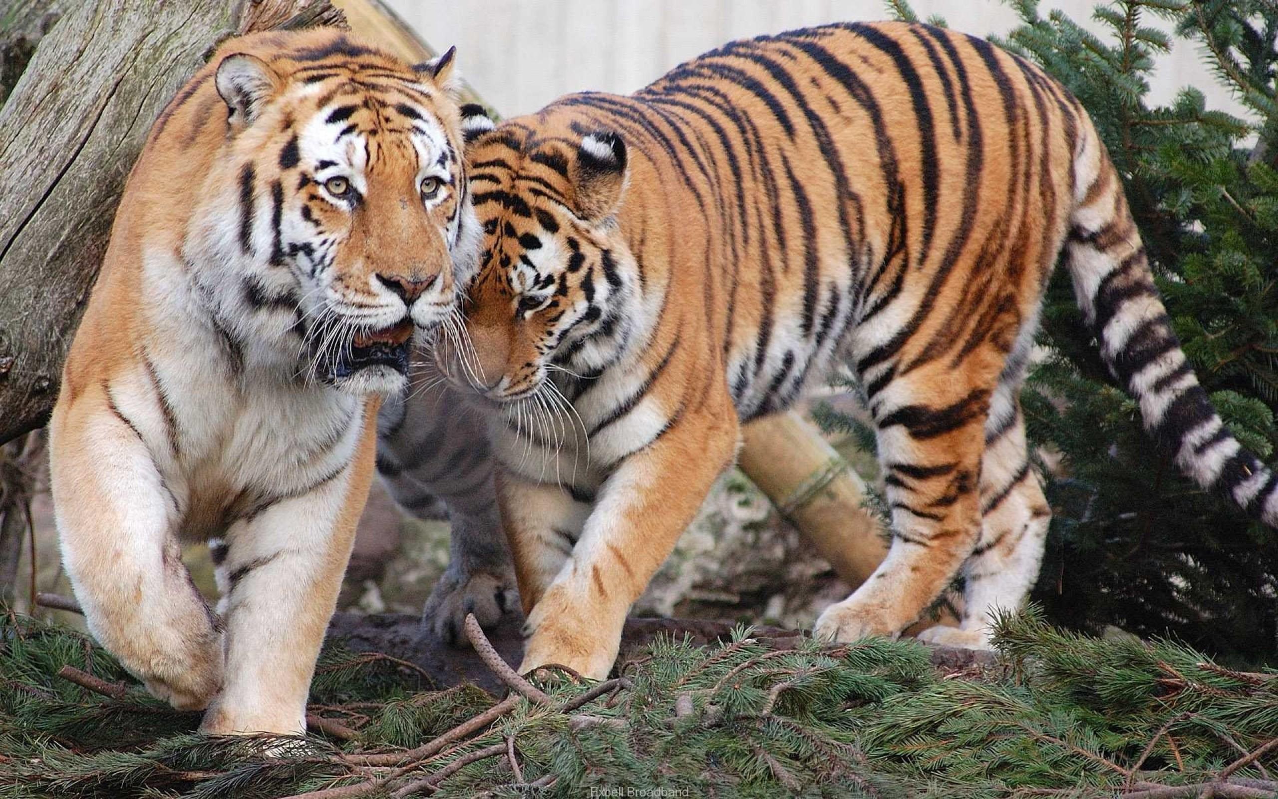 Tiger HD Wallpapers Download Desktop Wallpaper Images 2560x1600