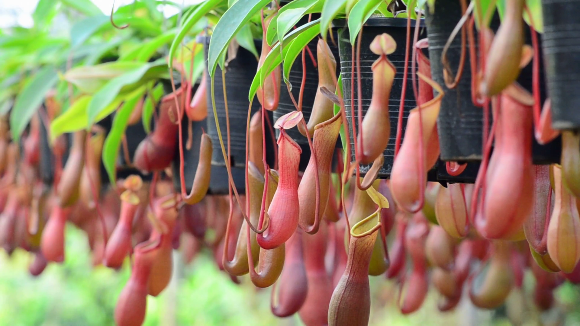 Nepenthes Tenax HD 1920x1080