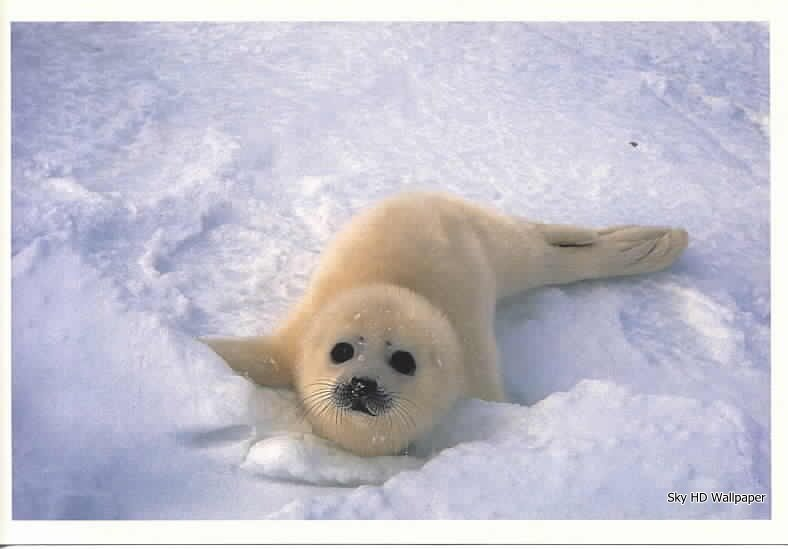 baby seal wallpaper wallpapersafari