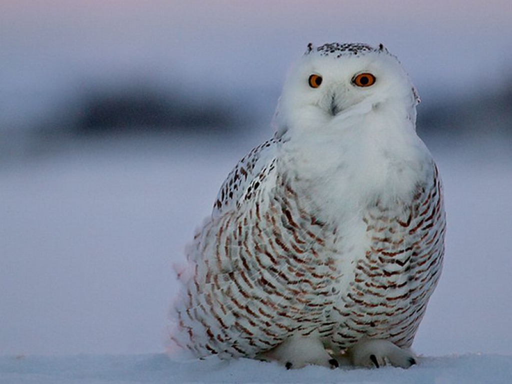 Snowy Owl Wallpaper HD Wallpapers Pictures Images Backgrounds 1024x768