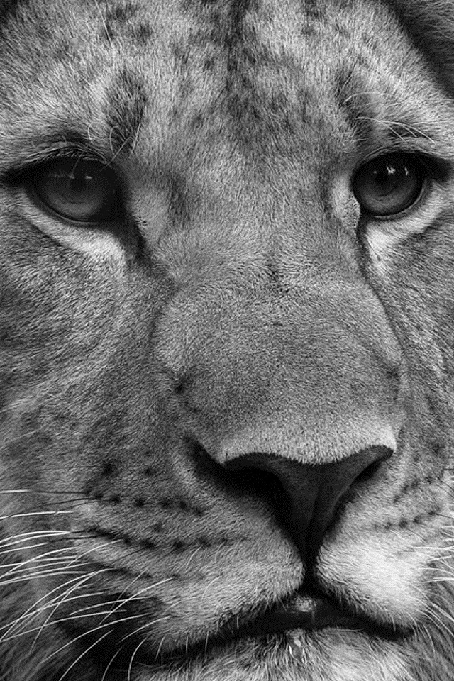 Free Download Black And White Lion Wallpapers For Iphone 4 640x960 For Your Desktop Mobile Tablet Explore 43 Black And White Lion Wallpaper White Lion Wallpaper Desktop Beautiful White