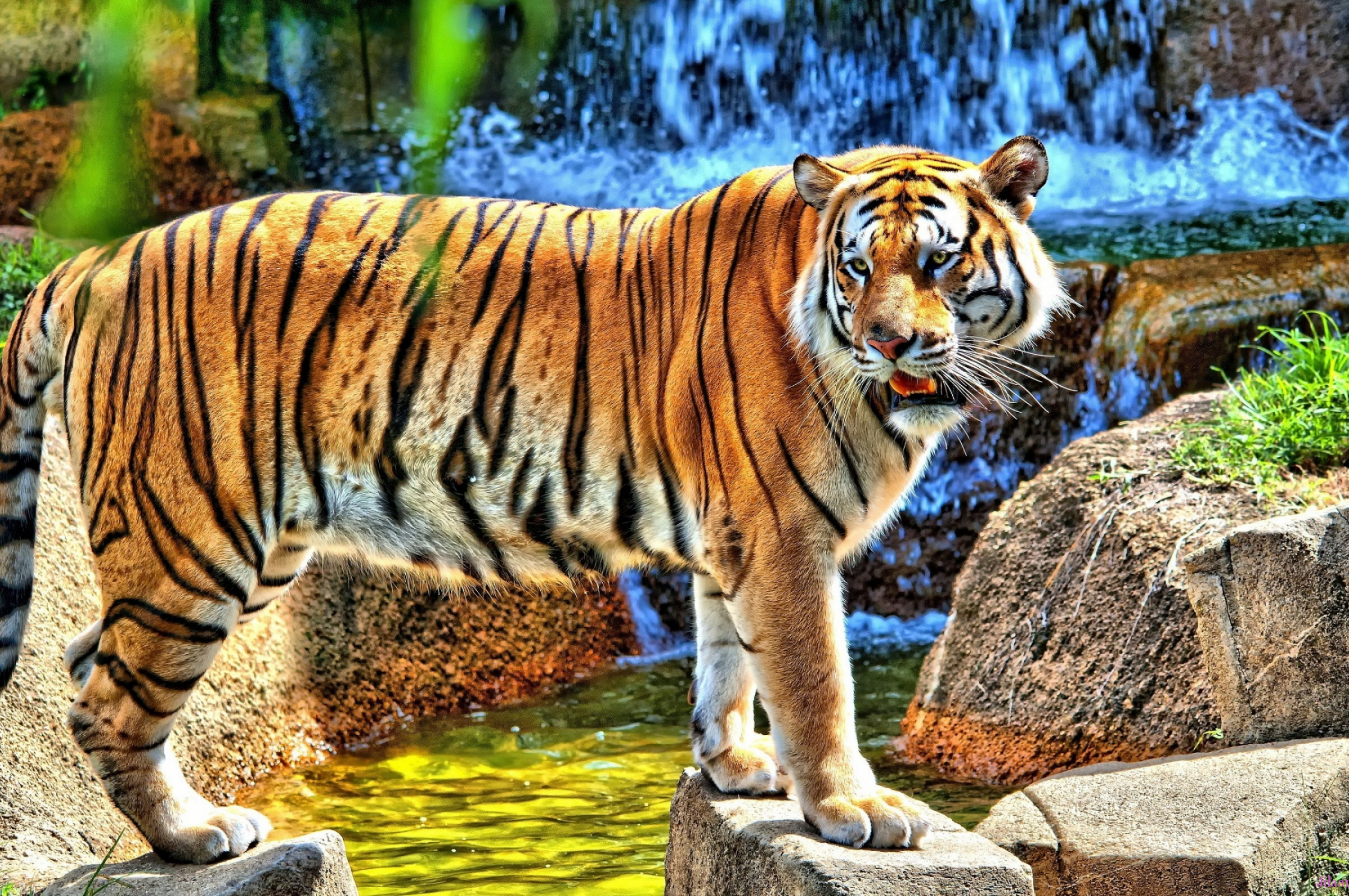 Tiger Wallpapers HD 1080p for Laptop   Great Love Art 2560x1700