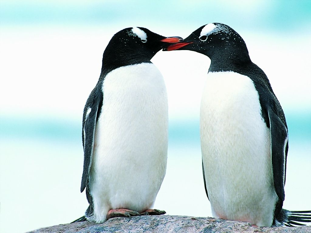 Cute Penguins in Lov HD Wallpaper Background Images 1024x768