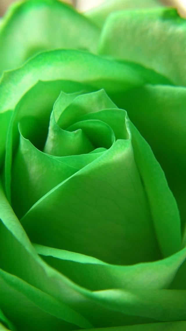 green rose iphone 5 wallpaper hd   640x1136 hd iphone 5 backgrounds 640x1136