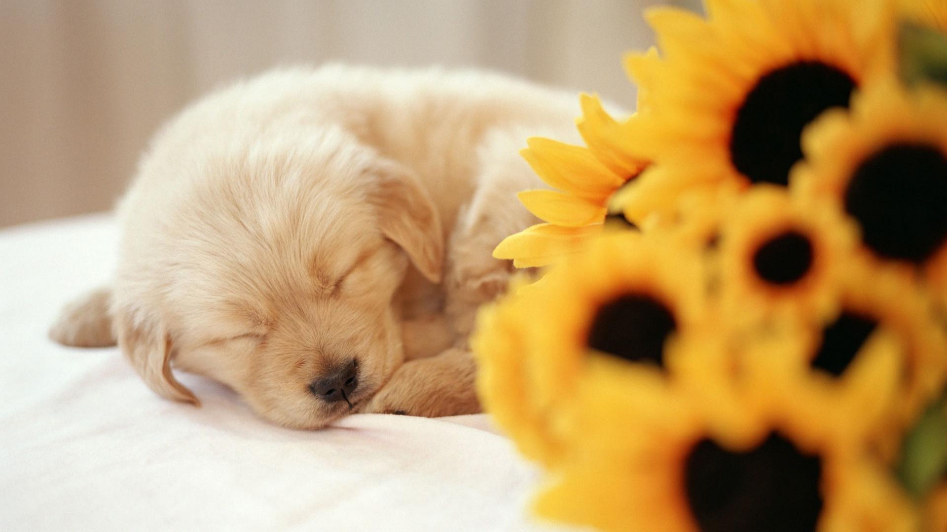 Sleeping Puppy Wallpaper 1920x1080