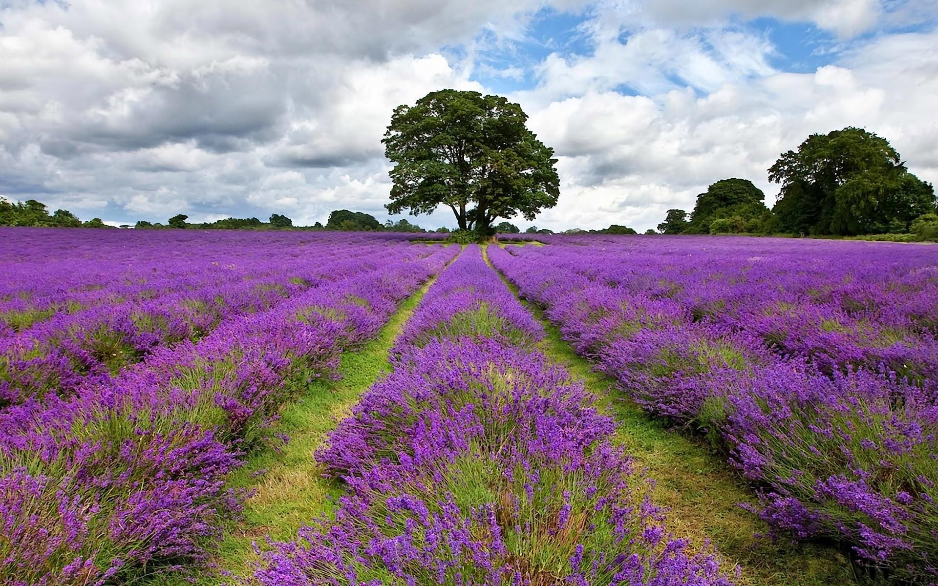 Lavender field wallpaper 1920x1200