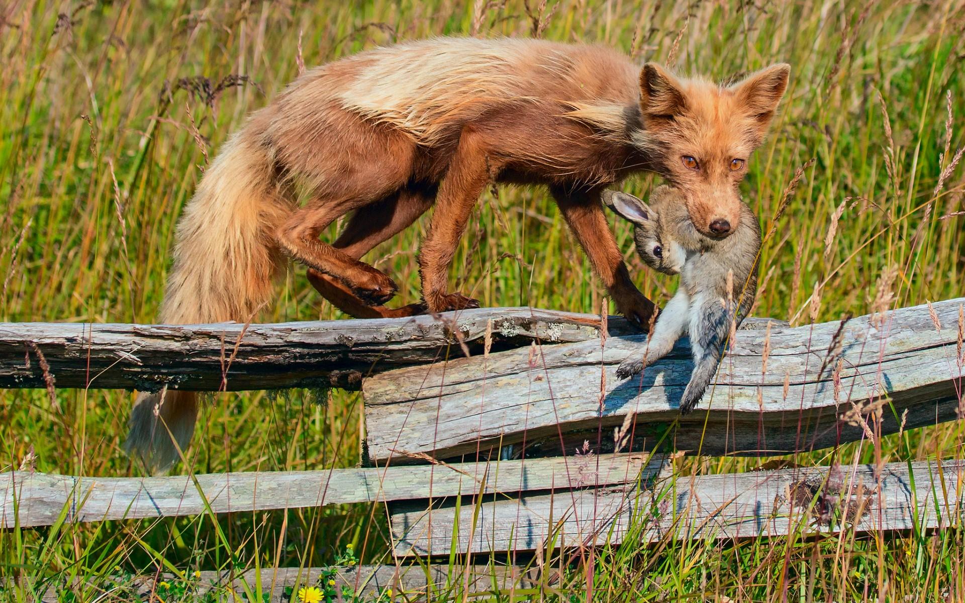 fox rabbit hunting death fence grass wallpaper background 1920x1200