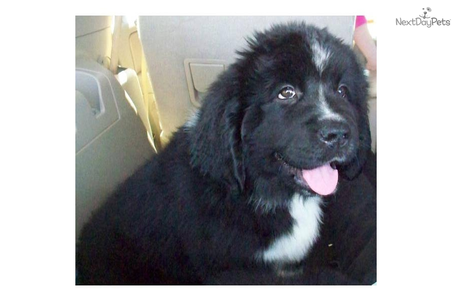 Newfoundland Puppies For Sale 11 High Resolution Wallpaper 900x600