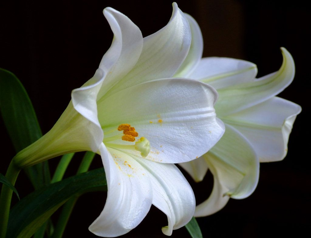 Lily FLower Wallpaper 1024x784