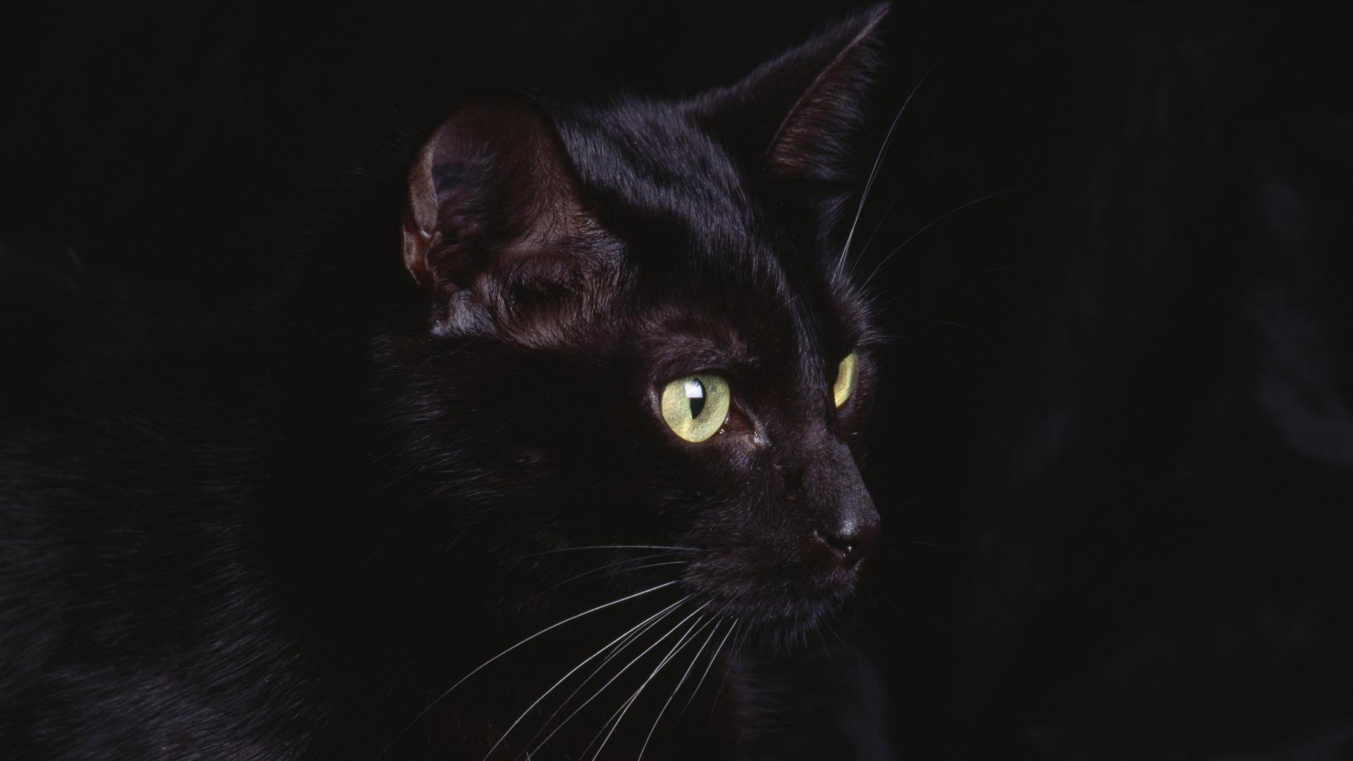 Black Cat Animal Wallpaper Download 7191 Wallpaper High Resolution 1920x1080