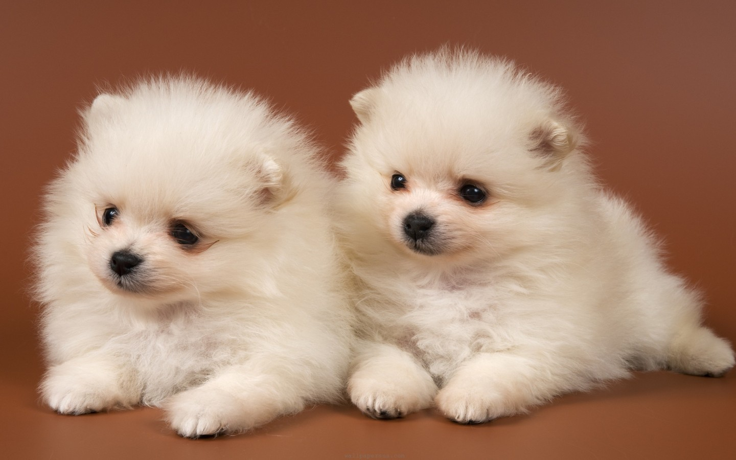Cute Puppy Wallpapers for Desktop Mobile Backgrounds 1440x900