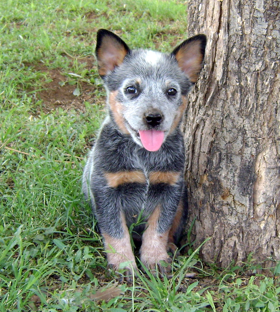 Australian Cattle Dog puppy photo and wallpaper Beautiful 1158x1290