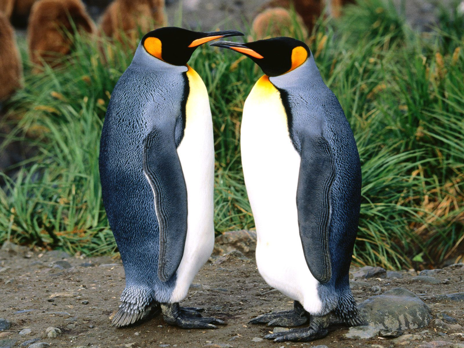 images of all animals Getting All the Gossip King Penguin 1600x1200