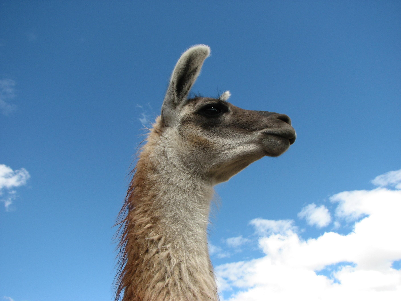 viewing animals llama hd wallpaper color palette tags animals llama 2816x2112