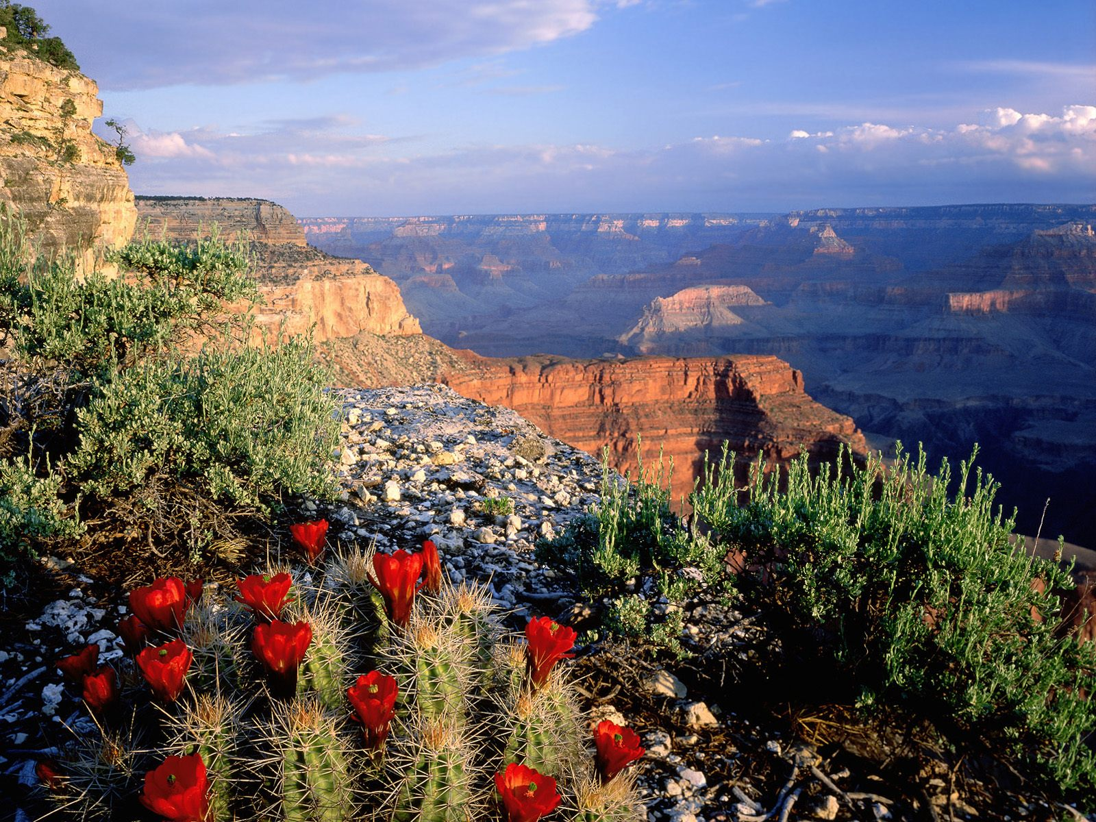National Parks Wallpapers Claret Cup Cactus Grand Canyon National 1600x1200