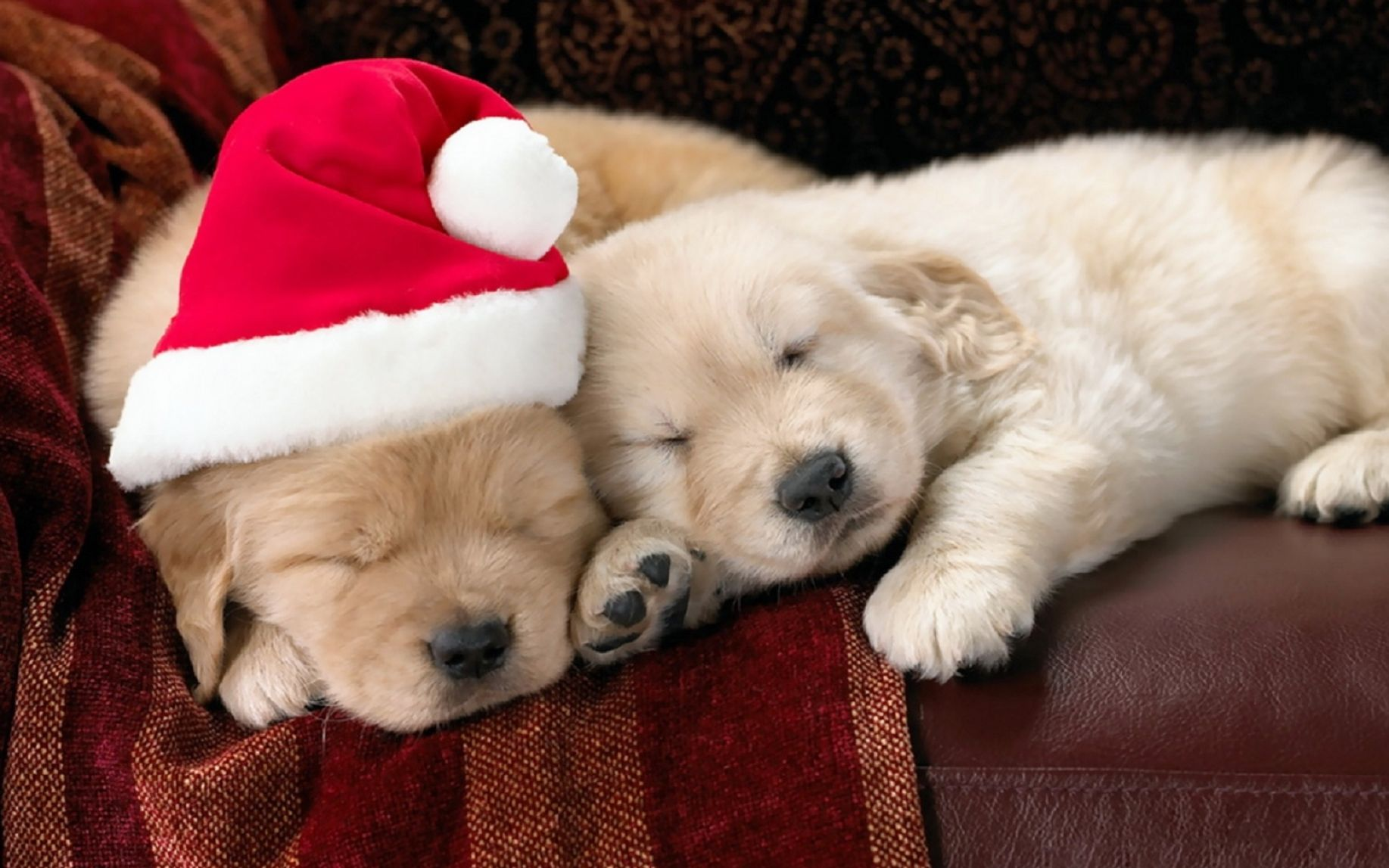 Cute christmas puppies wallpaper pictures 1 1835x1147