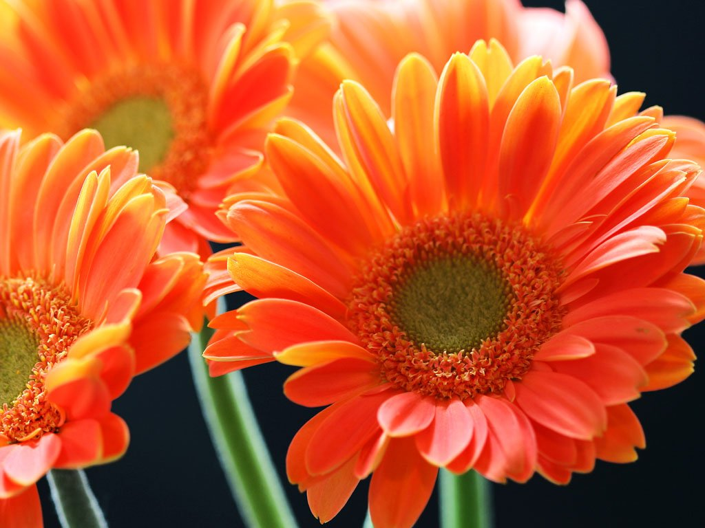 wallpaper Orange Gerbera Daisy Flowers Wallpapers 1024x768