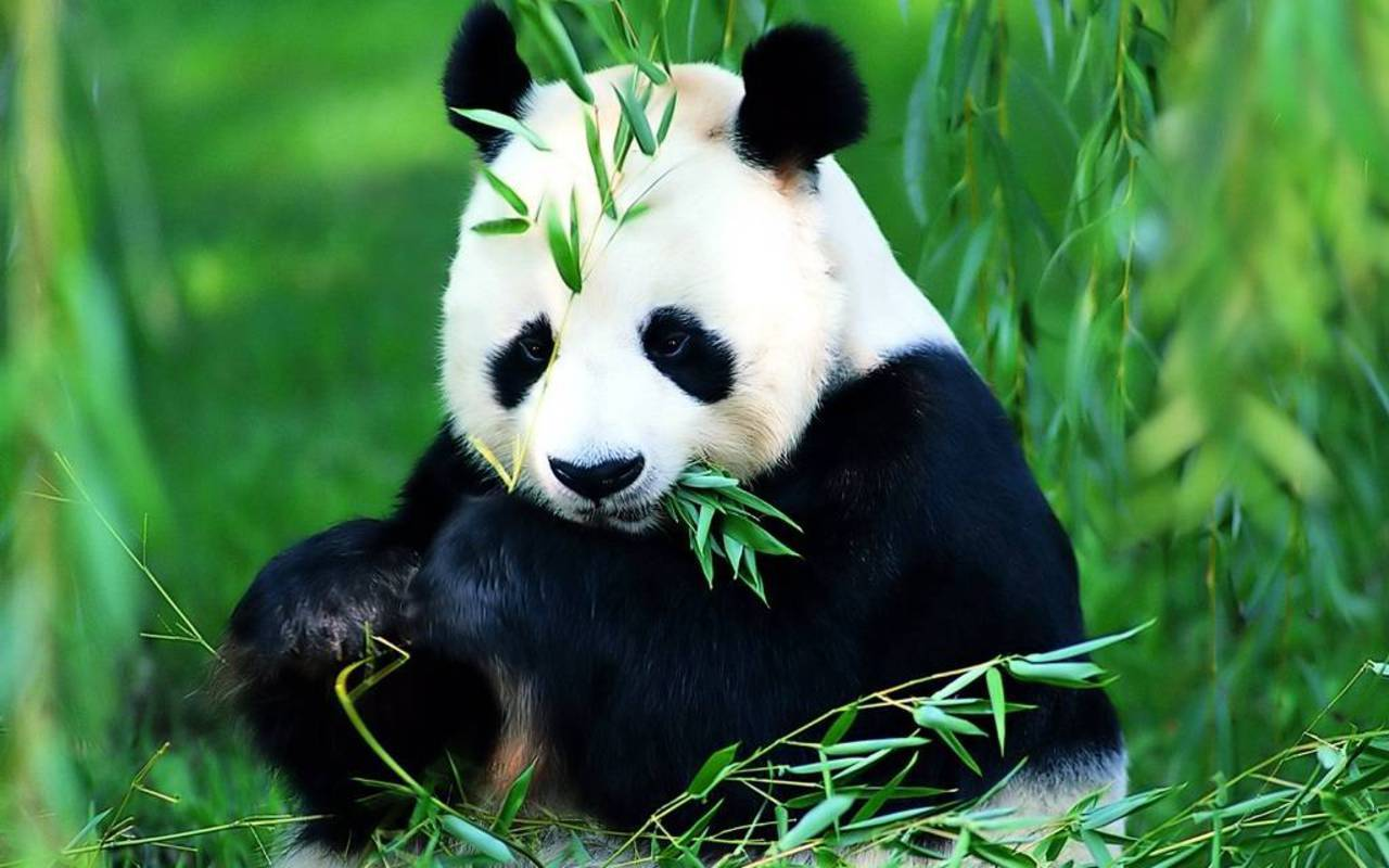 Save The Panda Bears   Flora and Fauna Wallpaper 18586480 1280x800