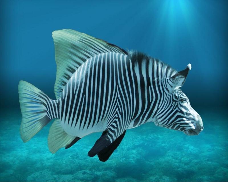fishzebra stripes fish zebra stripes 1500x1200 wallpaper Fish 800x640