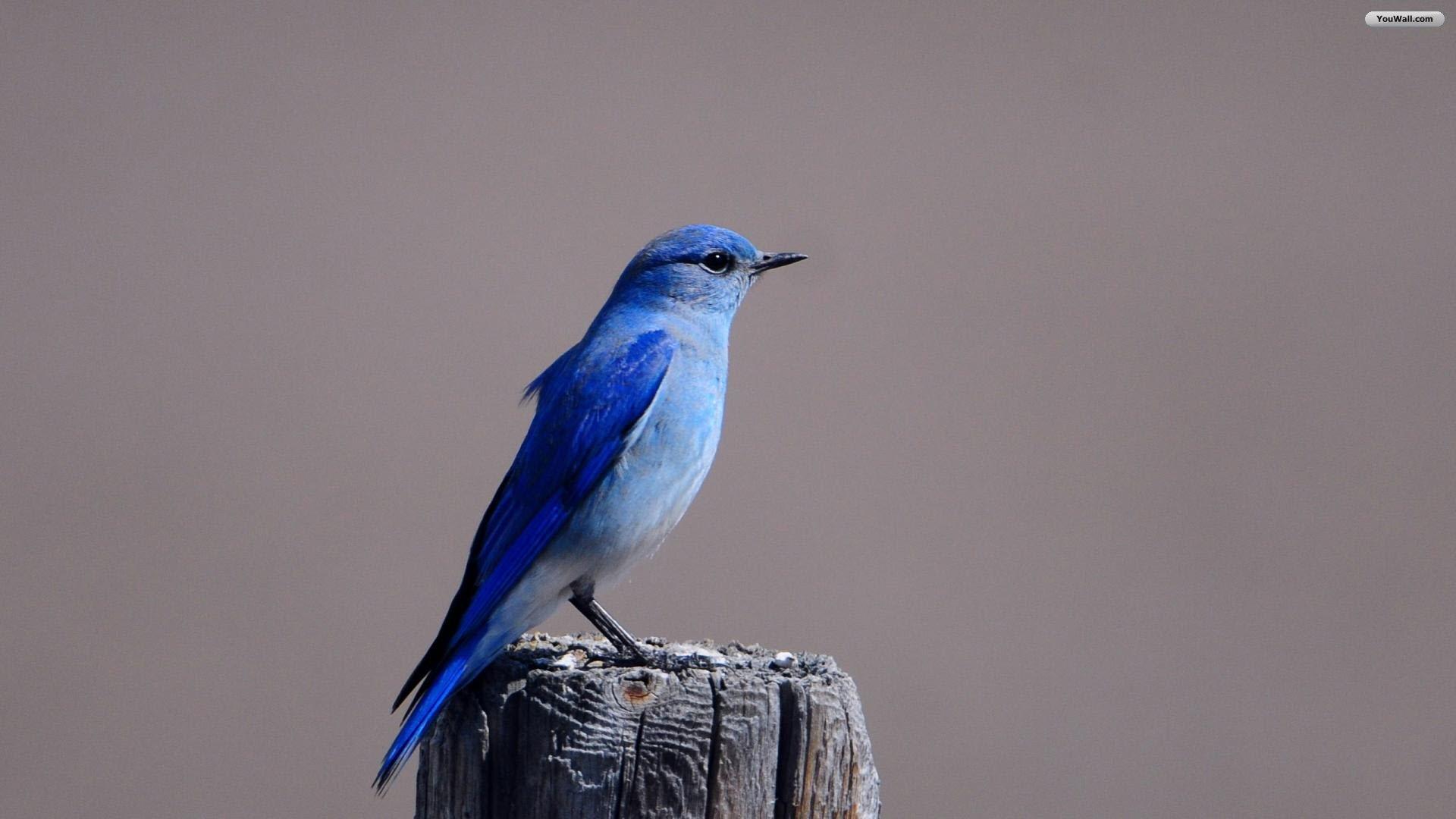 YouWall   Blue Bird Wallpaper   wallpaperwallpapersfree wallpaper 1920x1080