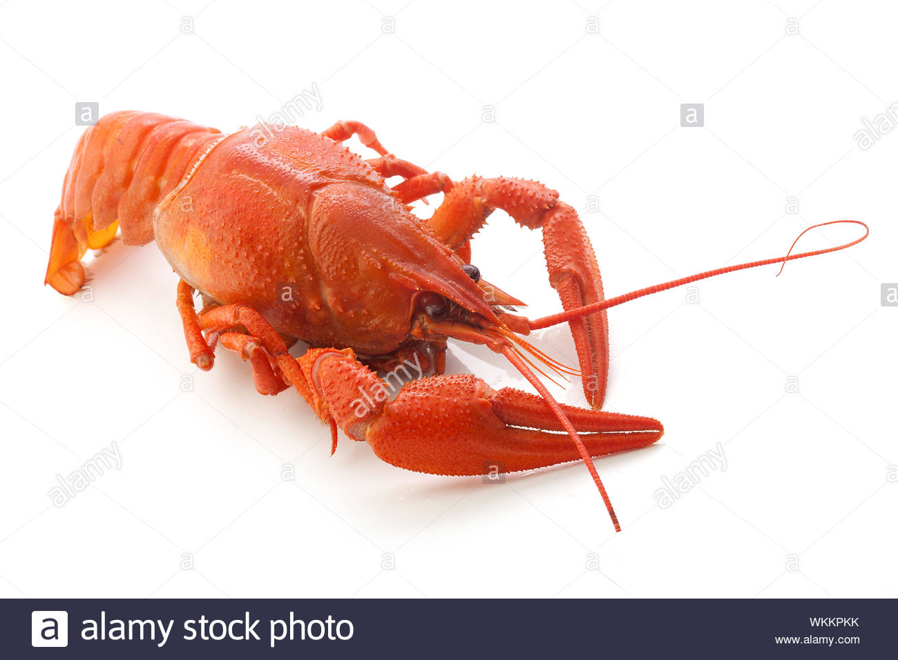 Isolated red boiled crawfish on the white background Stock Photo 1300x956