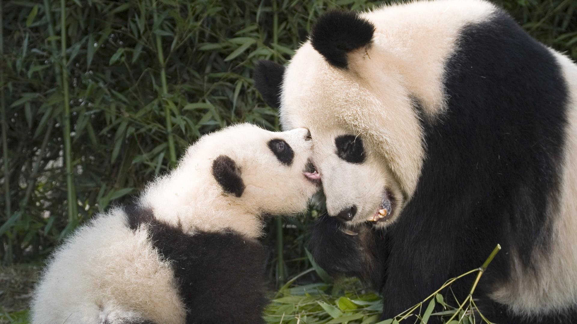 panda and baby panda HD wallpaper download 1920x1080