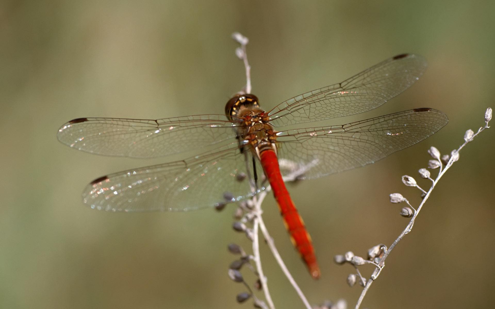 32 Fantastic HD Dragonfly Wallpapers   HDWallSourcecom 1920x1200