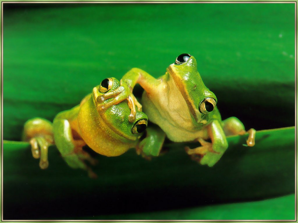 Frog Pals   Frogs and wildlife computer wallpaper 1024x768