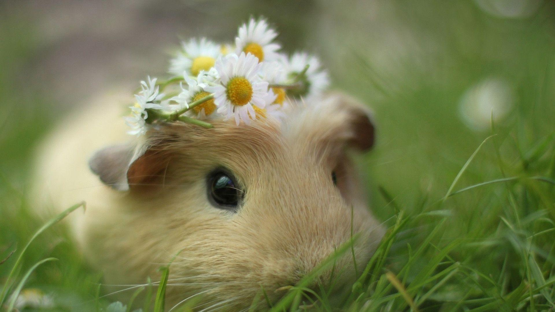 Guinea Pig Wallpapers 1920x1080