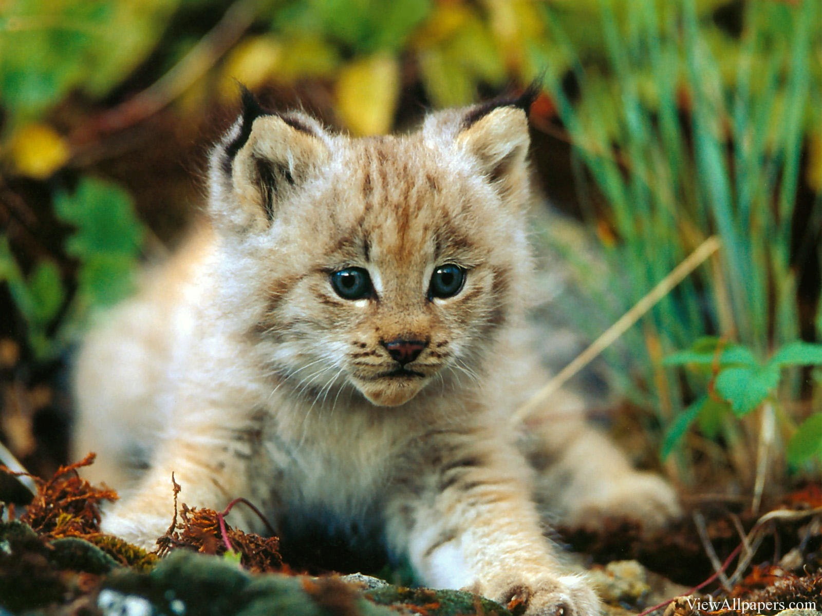Animal Planet Lion Cub High Resolution Wallpaper download Animal 1600x1200