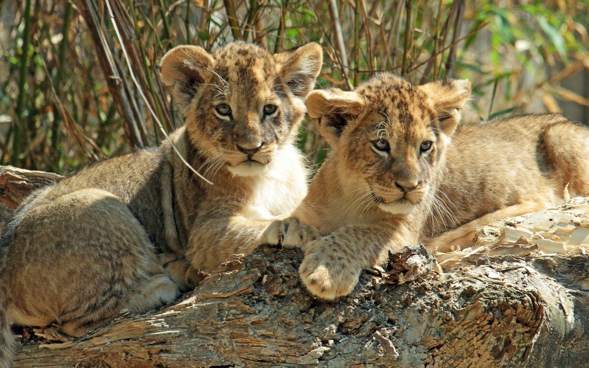 Lion cubs wallpaper 28256 1920x1200