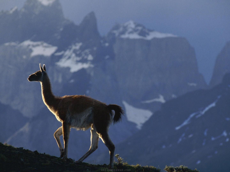 animal animals  llama backgrounds wallpapersjpg 1440x1080
