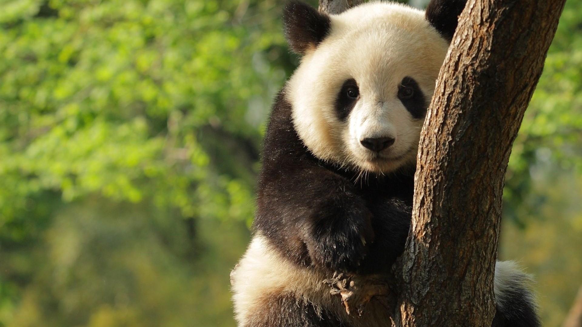 Giant Panda HD Wallpapers Download Desktop Wallpaper Images 1920x1080
