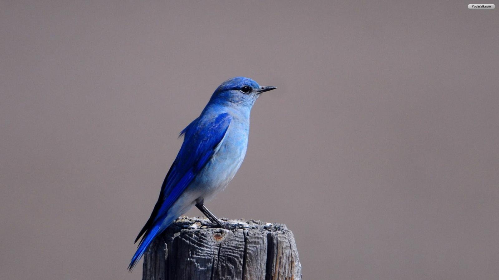 YouWall   Blue Bird Wallpaper   wallpaperwallpapersfree wallpaper 1600x900