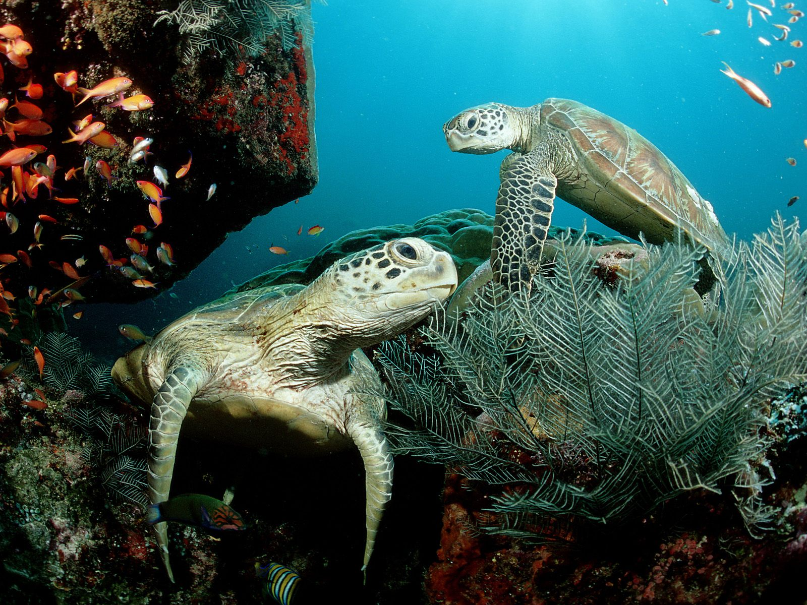 Christine ODonnell green sea turtle wallpaper 1600x1200
