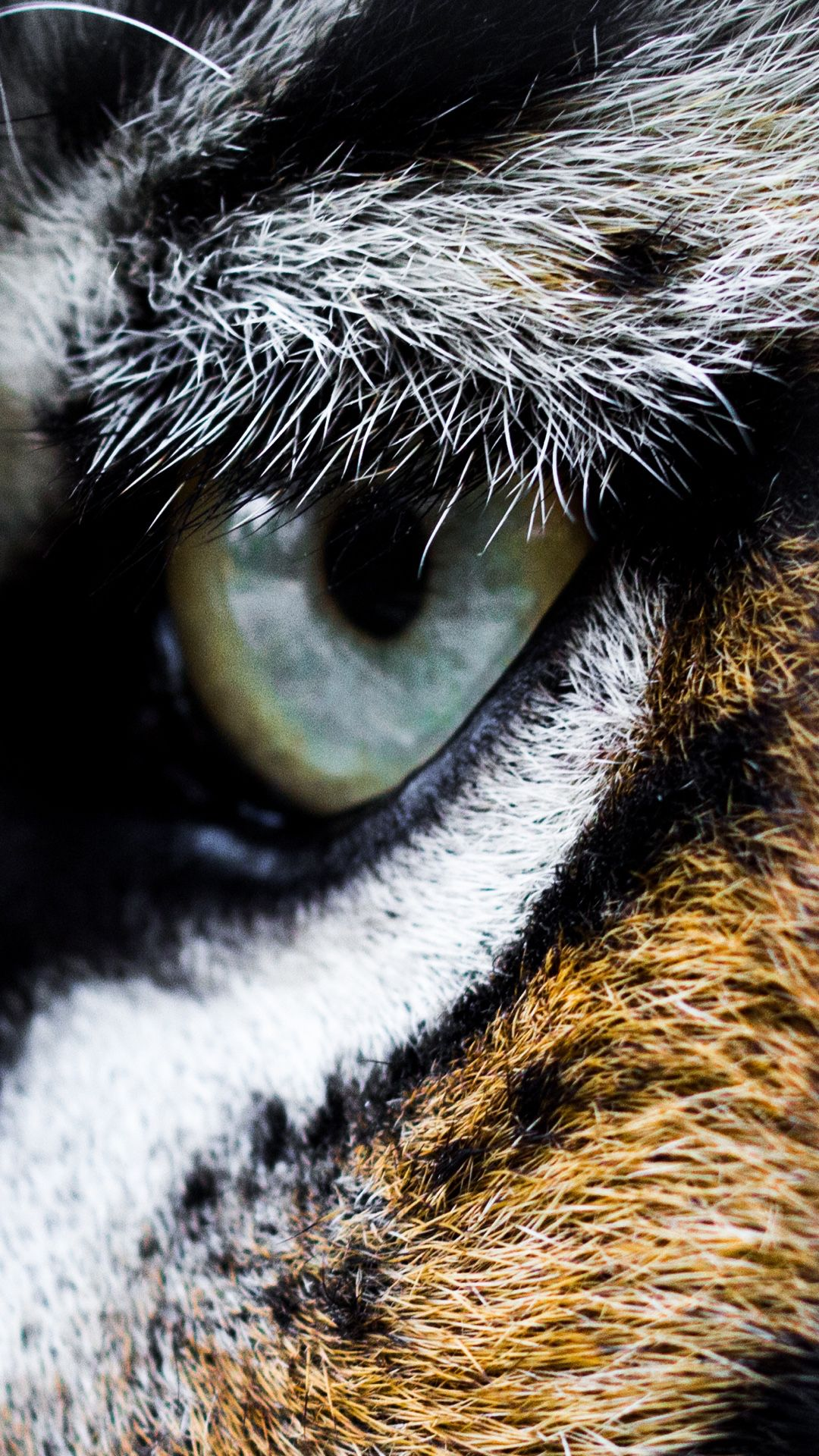 Hd Images Of Tiger Eyes   PeepsBurgh 1080x1920