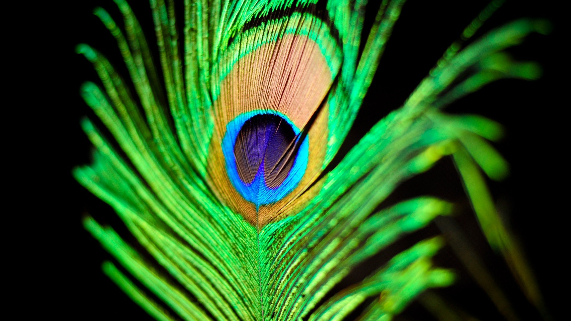 Peacock feather wallpaper   778127 1920x1080