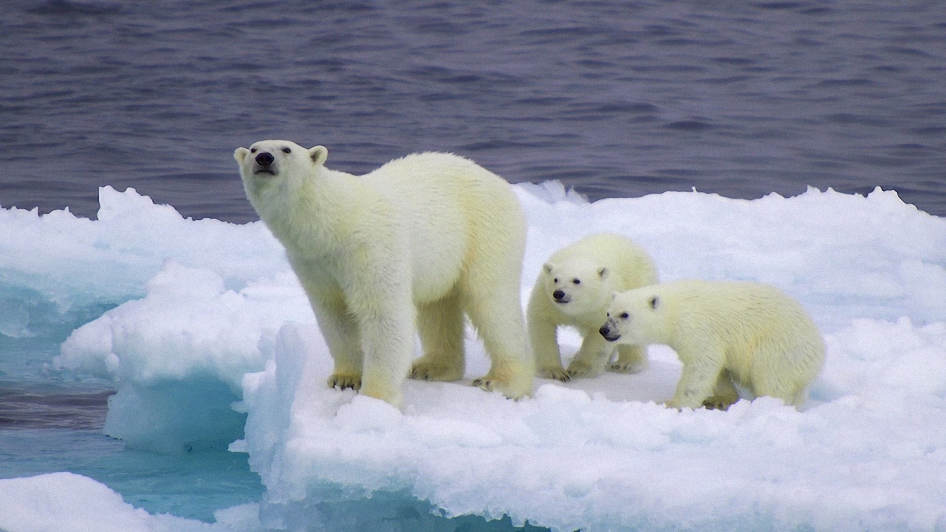 And Cubs On Iceberg 1920x1080 wallpaper1920X1080 wallpaper screensaver 1920x1080