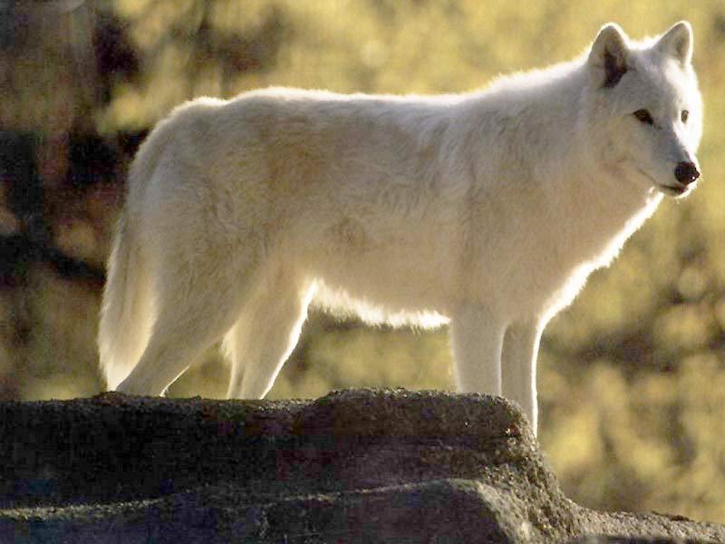 wolfs 4 ever   Twilight Wolves Wallpaper 6191697 800x600