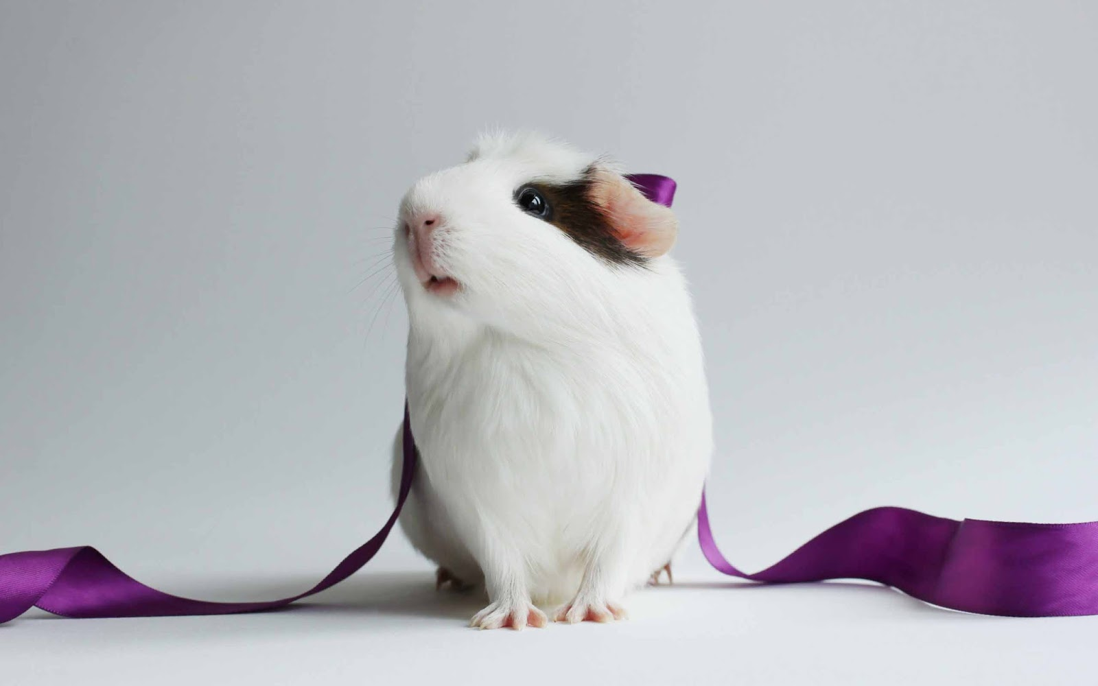 HD Wallpapers Guinea Pig Wallpapers 1600x1000