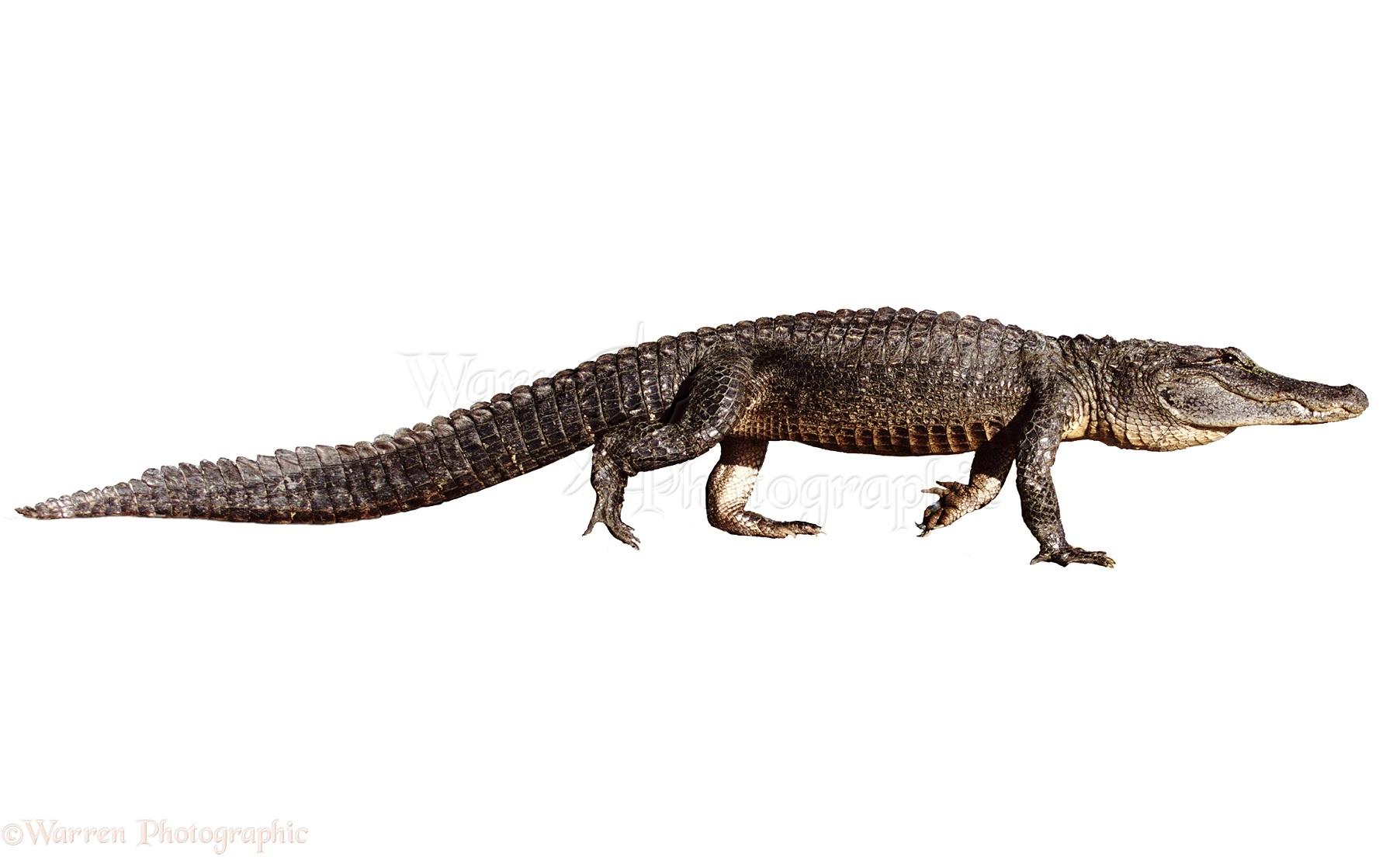 WP03731 American Alligator Alligator mississippiensis 1804x1104