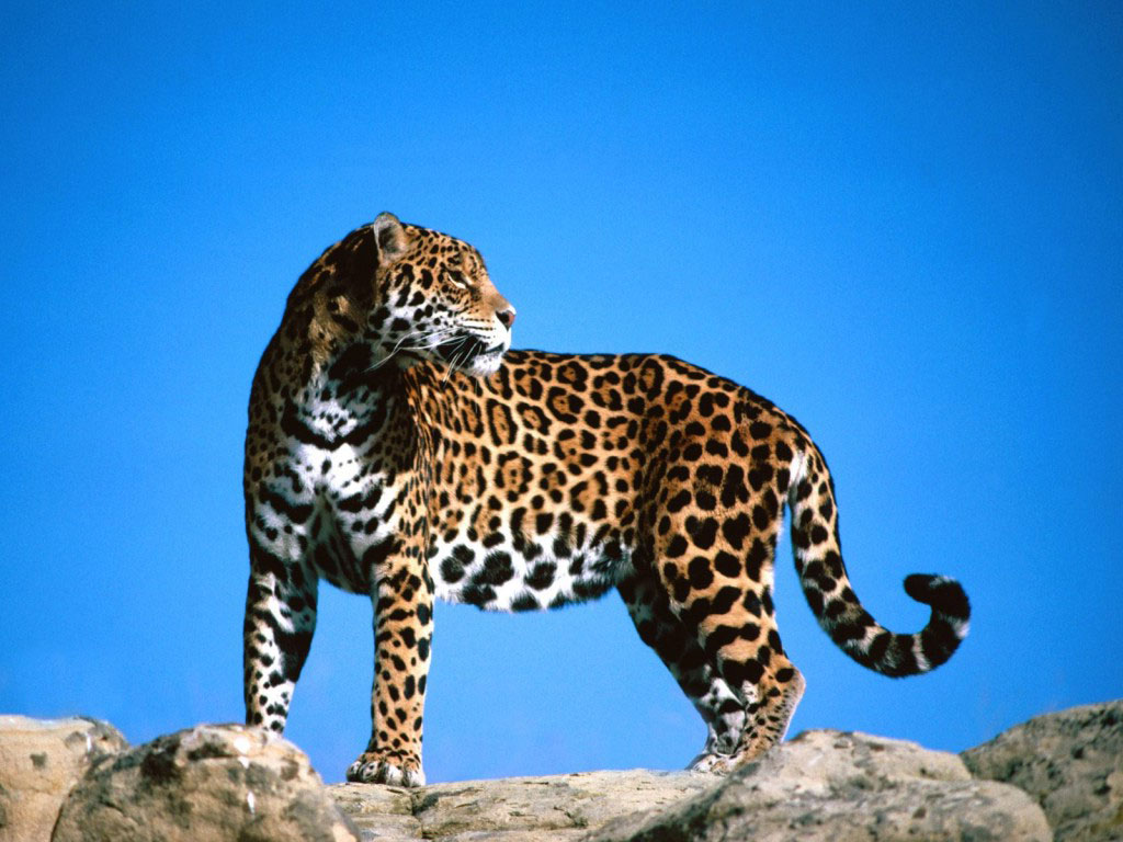 Jaguar Wallpaper 1024x768