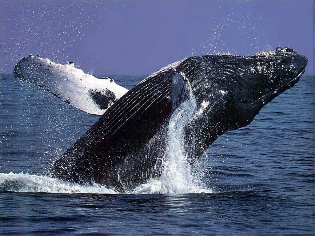 humpback whale1 1024x768