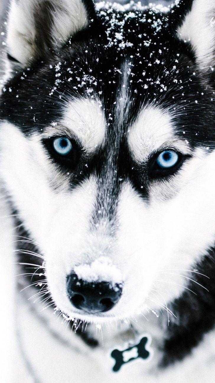 Siberian Husky Wallpapers   Pets Lovers 728x1295