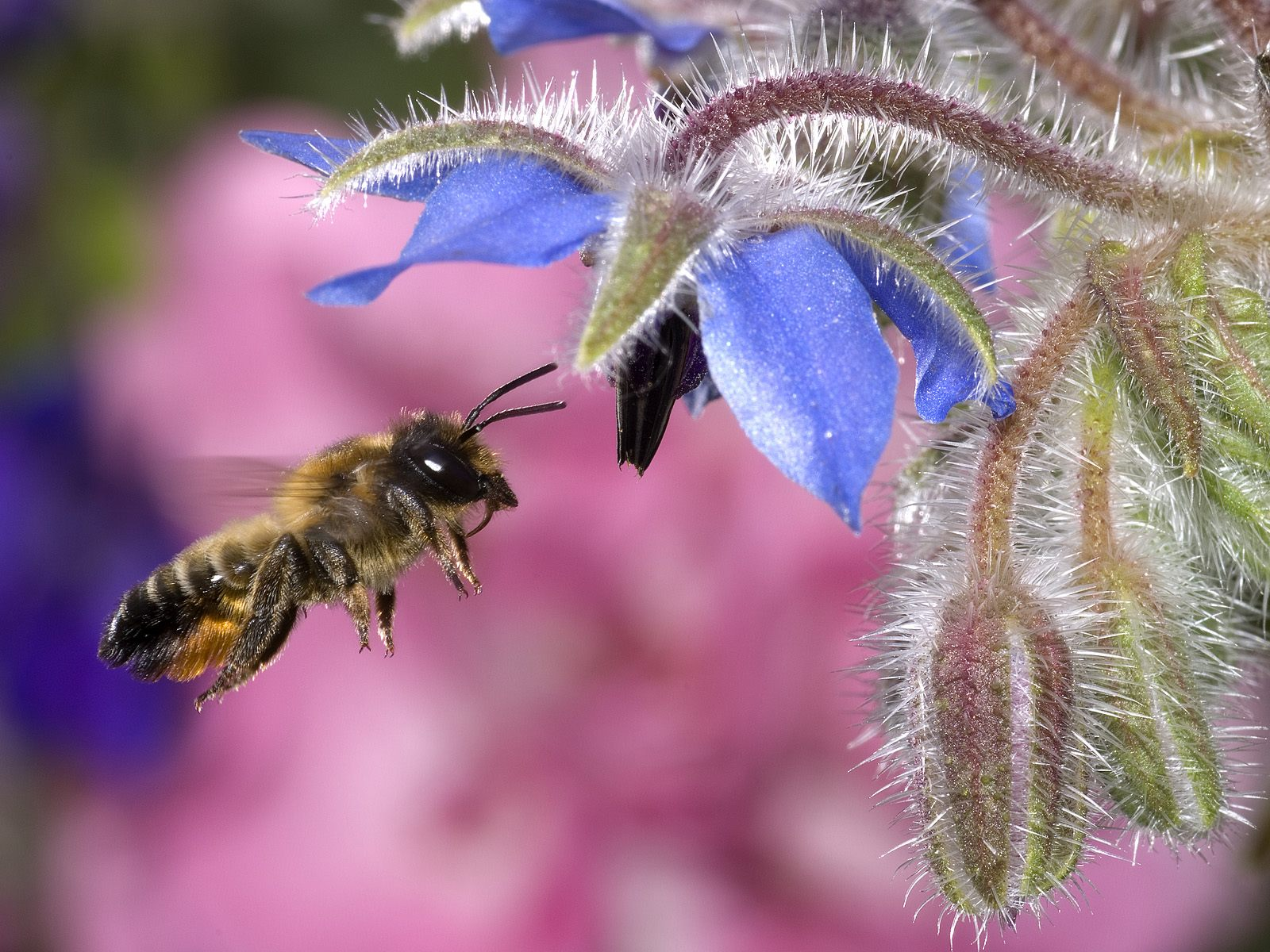 Hovering Honey Bee Wallpapers HD Wallpapers 1600x1200