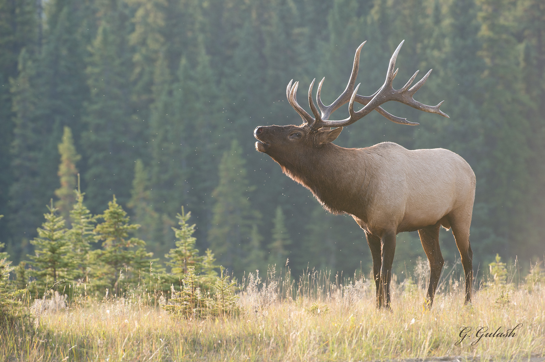 monster bull elk wallpaper   wallpapersafari