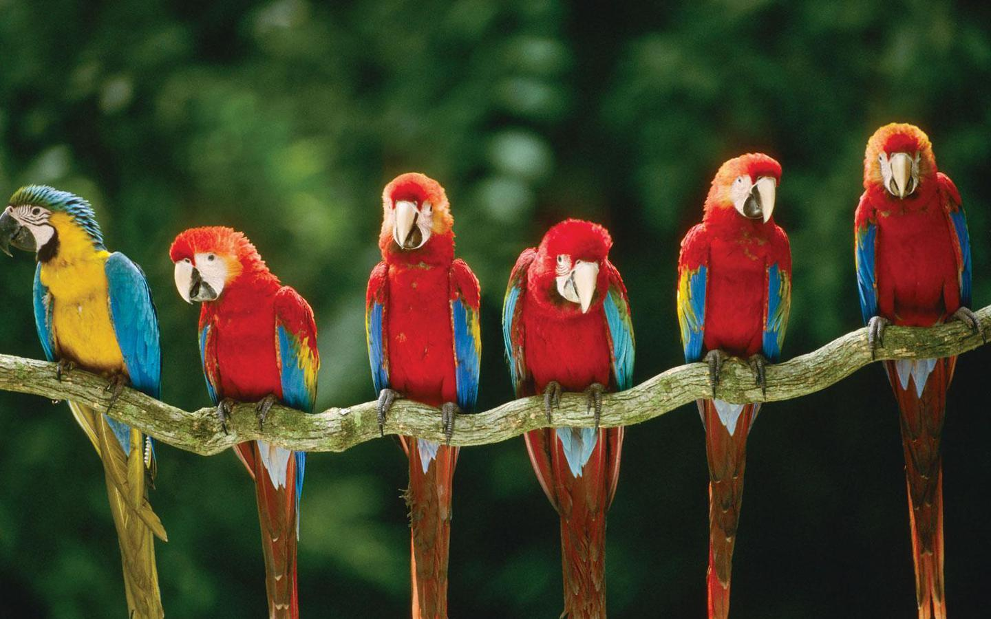 Macaws Tree Wallpaper   Bird Wallpapers and pictures for desktop 1440x900