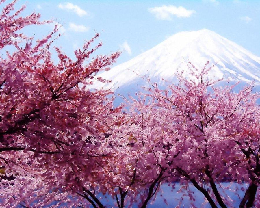 cherry blossom tree wallpaper wallpapersafari. Black Bedroom Furniture Sets. Home Design Ideas