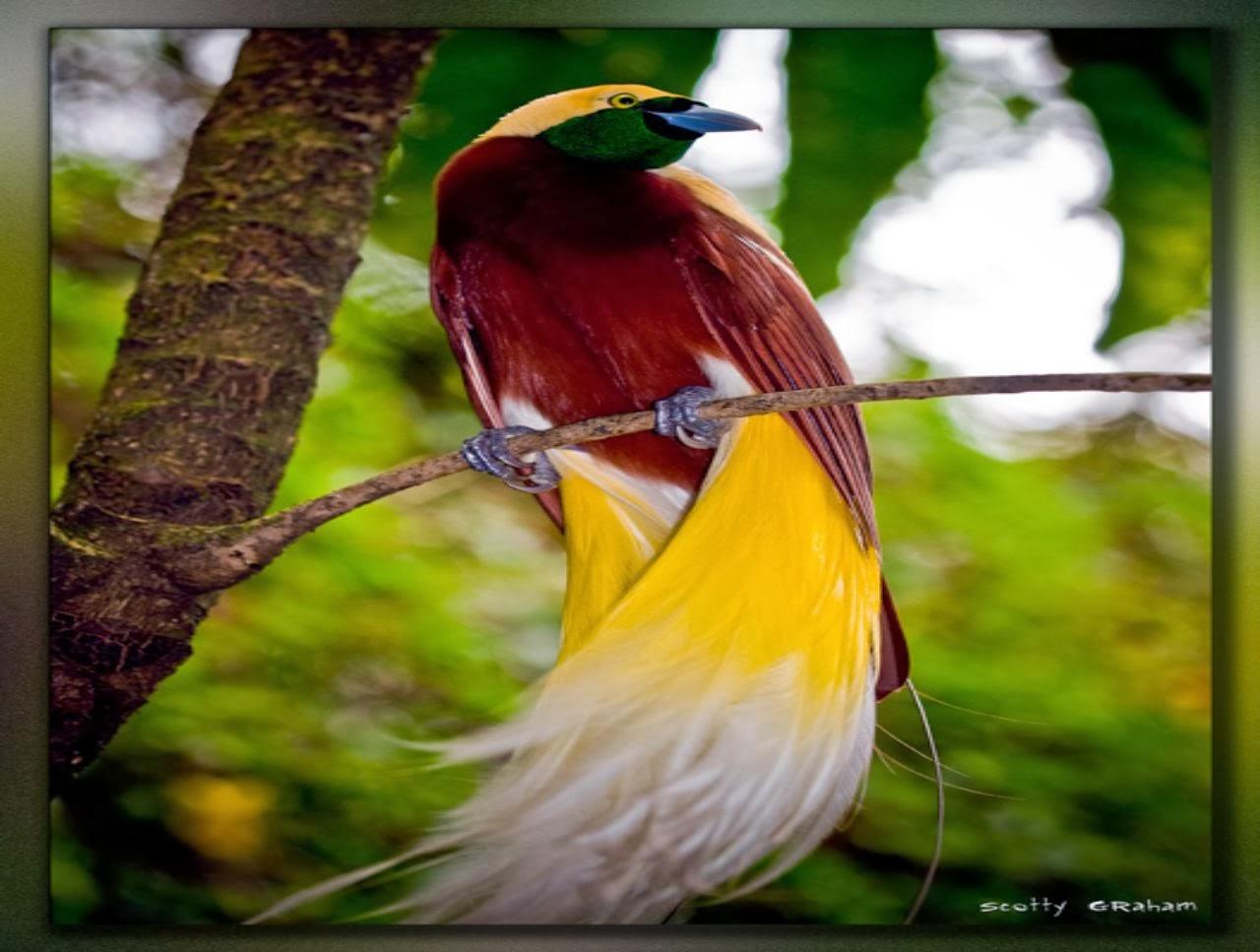 Bird of paradise wallpaper wallpapersafari - Hd images of birds of paradise ...